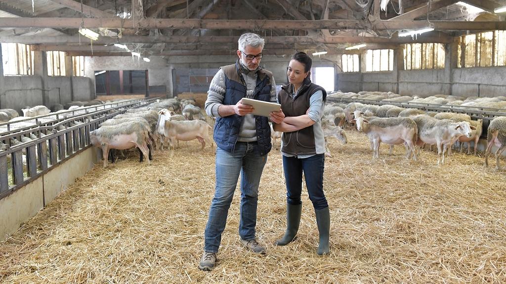 Mann und Frau stehen im Stall mit Schafen und schauen sich Unterlagen an