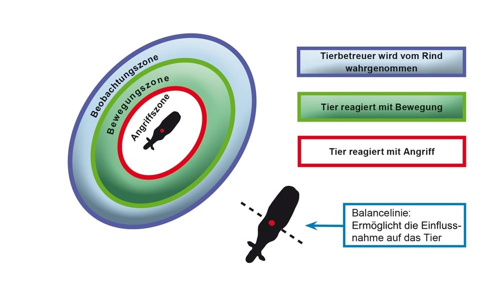 Bild: Schematische Darstellung der Beobachtungs-, Bewegungszone und Angriffszone beim Rind