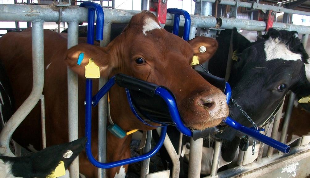 Bild: Rind mit Kopfstütze im Rinderstall