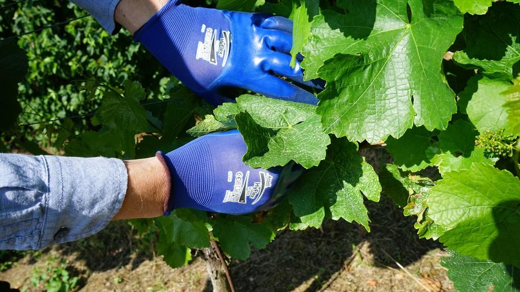 Bild: Hände mit Handschuhen bei Pflegearbeiten im Weinberg
