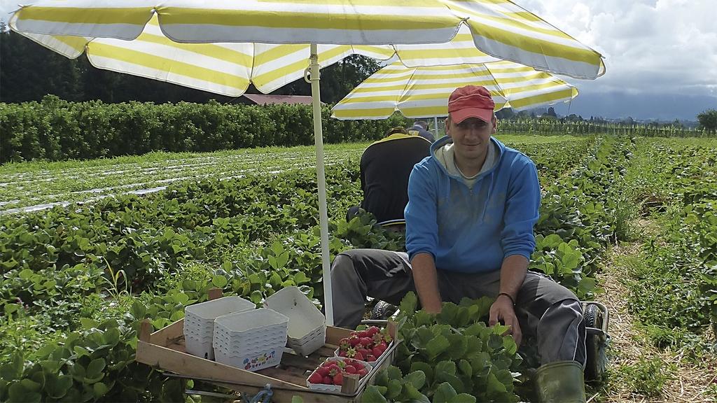 Erdbeerpflücker mit Sonnenschirm auf dem Feld