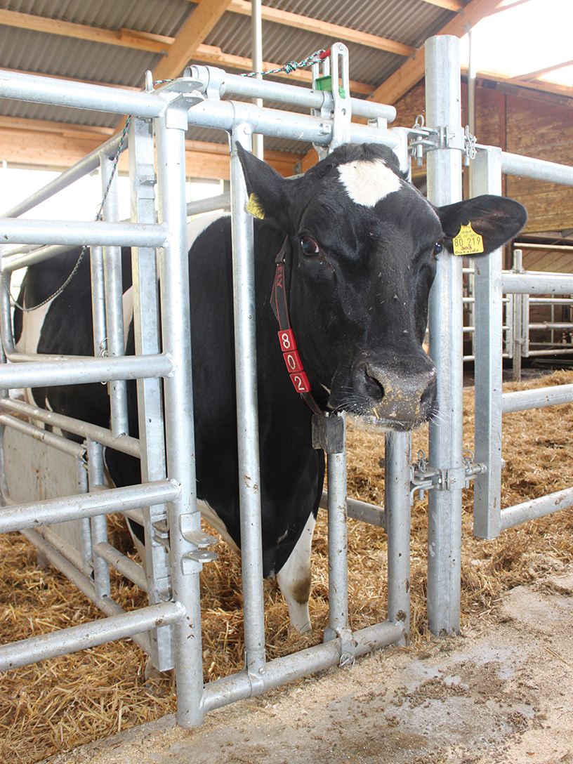 Stall kuh redewendung im lassen die Kuh