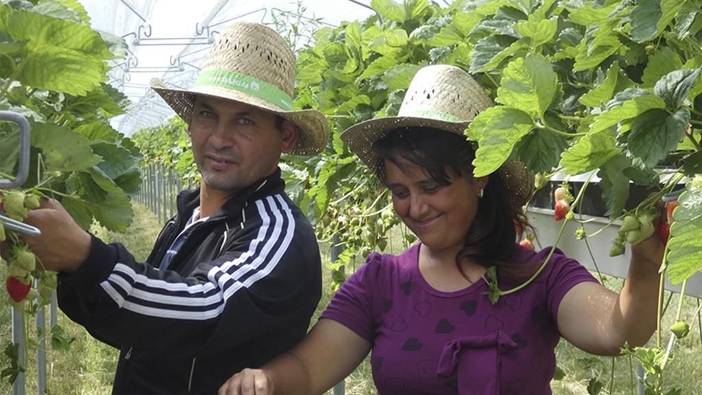 Bild:Mann und Frau mit Strohhut bei der Erdbeerernte