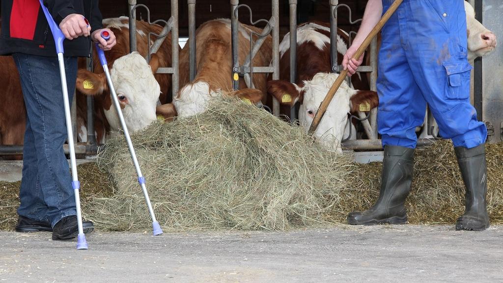 Mann mit Gehhilfe und Betriebshelfer beim füttern der Kühe