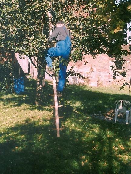 Ein Mann besteigt eine Einholmleiter, die an einen Obstbaum angelehnt ist.