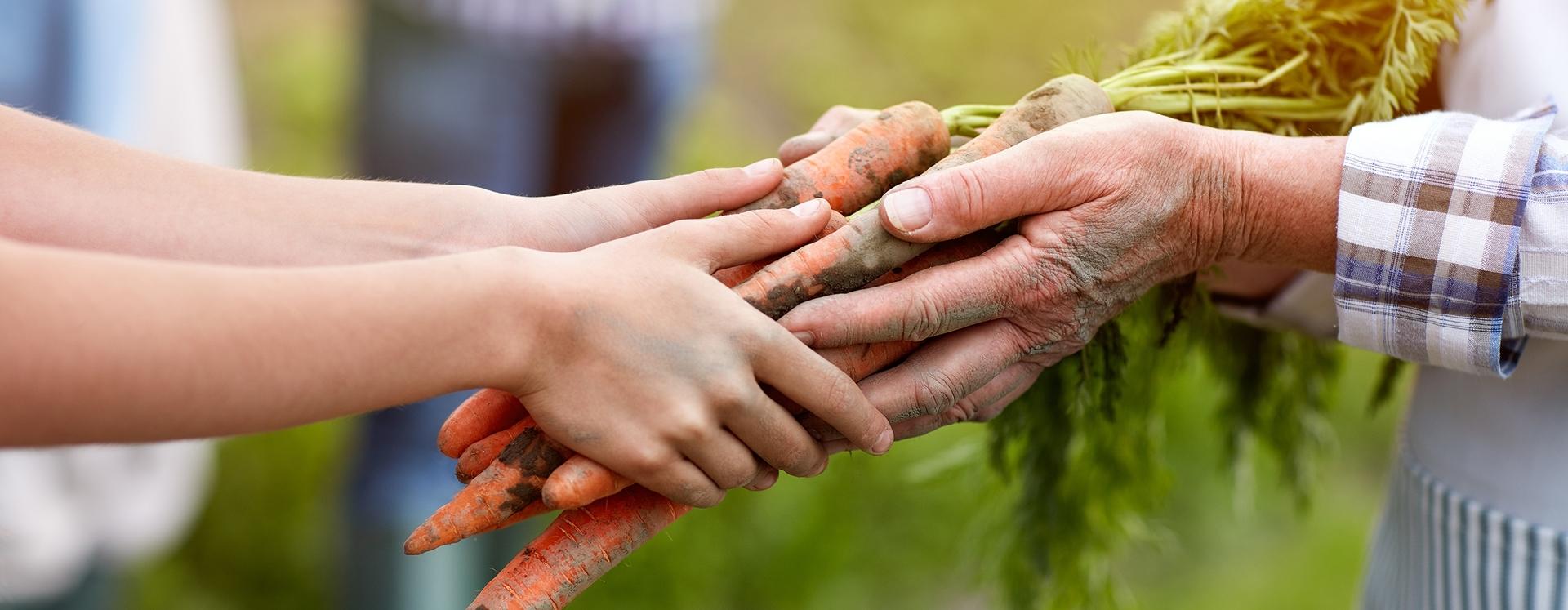 Hände halten Möhren nach der Ernte