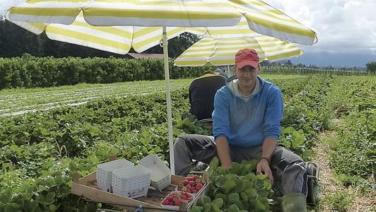 Erdbeerpflücker mit Sonnenschutz