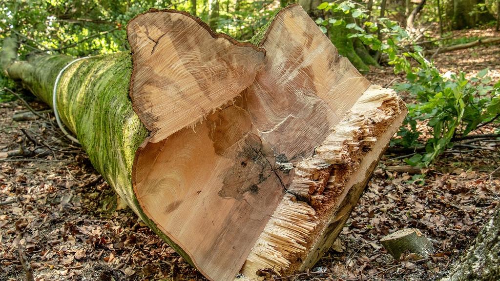 Schnittstelle eines Baumstamms mit faulen Stellen