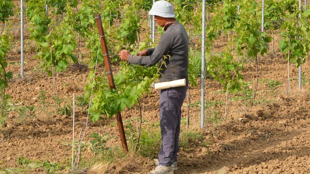 Saisonarbeiter befestigt Weinranken an Stock